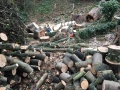 Sycamore firewood logging