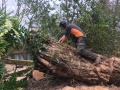 Willow tree extraction